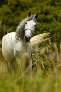 Low Angle Portrait Of An Arabian White Stallion Stock Photos