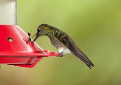 Hummingbird Feeding From A Special Designed Recipient Meant To Attract Birds - stock photo