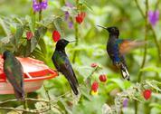 The Blue Tailed Emerald Chlorostilbon Mellisugus Is A Hummingbird That Breeds Stock Photos
