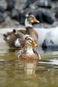 Stock Photo of The Mallard Or Wild Duck Probably The Best Known And Most Recognizable Of All