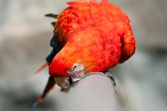 The Scarlet Macaw Is A Large Colorful Macaw It Is Native To Humid Evergreen - stock photo
