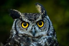 Owls Are The Order Strigiformes Constituting 200 Extant Bird Of Prey Species - stock photo