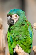 The Chestnut Fronted Macaw Or Severe Macaw Ara Severus Is One Of The Largest Of - stock photo
