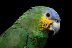 The Blue Headed Parrot Close Up - stock photo