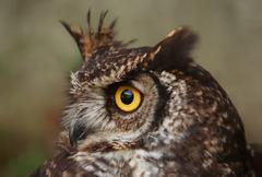 Stock Photo of Owls Are The Order Strigiformes Constituting 200 Extant Bird Of Prey Species