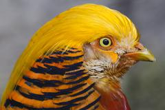Headshot Of A Colorful Pheasant - stock photo