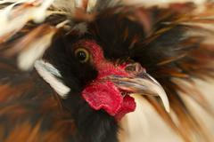 Headshot Of An Wild Rooster - stock photo