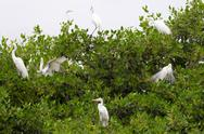 Great White Egrets In Their Natural Habitat Stock Photos