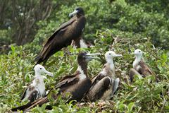 Family Of Frigate Birds On Isla La Plata Ecuador - stock photo