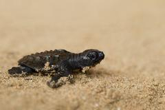 Baby Turtle On The Beach Struggling To Reach The Ocean Stock Photos