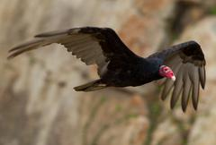 Stock Photo of Male Turkey Vulture Flying