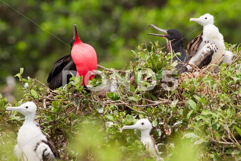Stock photo of frigate bird male