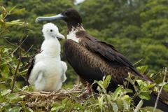 Female Frigate Bird With A Cub Stock Photos