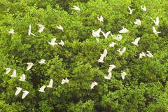 Flock Of White Egrets Flying Against The Mangrove Forest Stock Photos
