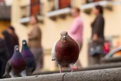 Tourist Pigeon On The Street Shallow Depth Of Field Humans In Background Stock Photos