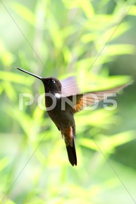 Stock photo of collared inca