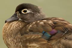 Female Wood Duck Close Up Isolated On Green Stock Photos
