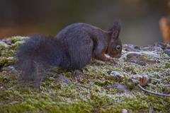 Squirrel searching for food - stock photo