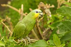 Male Yellow Crowned Amazon Parrot Shot In Ecuadorian Lowlands Of Amazonian Basin - stock photo