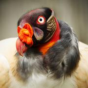 Close Up Portrait Of A King Vulture In Captivity Stock Photos