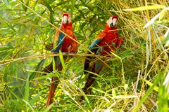 Pair Of Ara Macaw Parrots In Ecuadorian Amazonia - stock photo