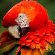 Stock Photo of The Scarlet Macaw Is A Large Colorful Macaw It Is Native To Humid Evergreen