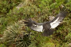 The Andean Condor Is A Large Black Vulture With A Ruff Of White Feathers - stock photo