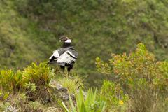 Andean Condor Shot In Ecuadorian Highlands At About 1800M Altitude - stock photo