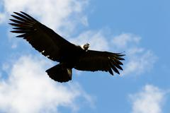 Male Andean Condor In Flight Shot In Highlands Of Ecuador Andes Mountains - stock photo