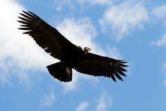 Stock Photo of Male Andean Condor In Flight Shot In Highlands Of Ecuador Andes Mountains