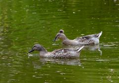Duck Family On A Lake In Daylight Searching For Spending A Good Time - stock photo