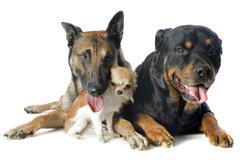 Malinois, chihuahua ja rottweiler Kuvituskuvat