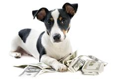 jack russel terrier with dollars - stock photo