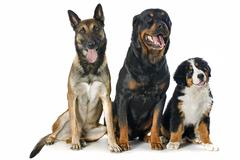 puppy bernese moutain dog, malinois and rottweiler - stock photo