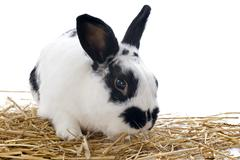 Dwarf rabbit Stock Photos