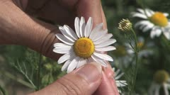Plucking daisy petals Stock Footage