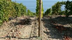 Vineyard near the sea (terroir). Crimea, Black sea Stock Footage