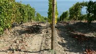 Stock Video Footage of Vineyard near the sea (terroir). Crimea, Black sea