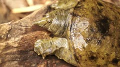Philippine soft shelled turtle Stock Footage