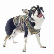dressed chihuahua - stock photo