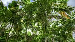 Tracking Palm Trees, Botanical Garden, HDR Time Lapse Stock Footage