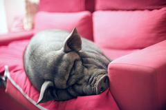 Black piggy on sofa Stock Photos