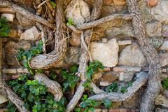 Stock Photo of Old Stone Wall At Alcazaba Fortress Covered With Large Ivy Plants