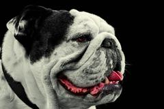 Mug Shot Studio Portrait Of An Adult Pure Breed English Bulldog Stock Photos