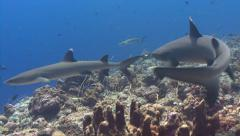 Multiple Sharks hunt over reef Stock Footage