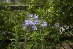 Agapanthus in bloom - stock photo