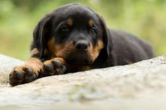 Stock Photo of Portrait Of An Young Rottweiler Pup Two Months Old