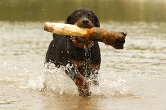Stock Photo of Young Rottweiler Pup Retrieving A Huge Wood From The Water