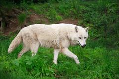 Large Adult White Wolf Chasing His Prey In The Wood - stock photo