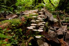 Cluster Of Small White Mushrooms In Amazonina Rainforest Ground Level View - stock photo